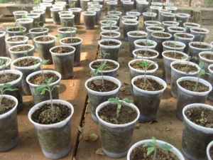 Young tomato seedlings / jeunes plants de tomate